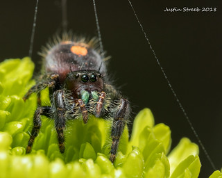 Bold Jumping Spider & Green Flower