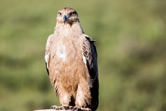 Tawny Eagle (Ring a Ding Ding) Tags: africa aquilarapax bird ndutu nomad serengeti tall tanzania tawnyeagle birdofprey nature safari talons wildlife shinyangaregion coth coth5