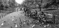 Sharing Food with the Birds......... (steve.gombocz) Tags: olympus olympususers olympusamateurs olympuszuikodigitalclub olympusm25mmf18 olympusem5mark2 olympusomd blacknwhite greyscale monochrome streetscene blackwhite bwphotographs bw flickrbw blackwhitephotos flickrstreet streetlife street blackandwhite streetphotographs streetbw photosinblackandwhite flickraddicts out outandabout flickr exploreflickr streetpictures stjamespark water birds pigeon london londonbw londonscene explorelondon flickrlondon zwartwit neroebianco sortoghvid mustavalkoinen svarthvitt svartoghvitt svartochvitt pretoebranco noiretblanc schwarzundweiss negroyblanco park londonpark