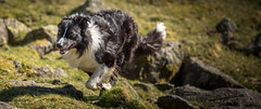 On the trot (JJFET) Tags: border collie dog sheepdog