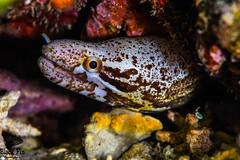 Spotted Moray Eel (Gymnothorax moringa) (Black Fin Grouper) Tags: gymnothoraxmoringa morayeel locations afsteleconvertertc17eii nikon nagoseawall d850 species eel nikond850 60feetor18meters teleconverter nikkor depth 105mm nago
