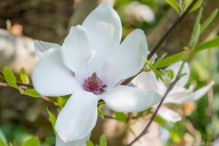 Magnolias for ever  !!!