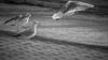 IMG_2153 (frknblr) Tags: beach coth5 seagull gull beyaz siyah white black nature eos canon animal hayvan türkiye turkey martı konya beyşehir