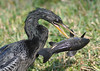 ANHINGA (concep1941) Tags: birds anhingafamily freshwatermarshes swamps rivers