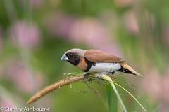 Chestnut-Breasted-Mannikin (stanley.ashbourne) Tags: australia holiday brisbane nature wildlife