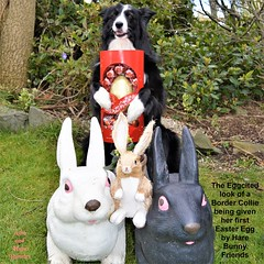 EGGCITED BORDER COLLIE (ASHA THE BORDER COLLiE) Tags: easter egg border collie hare bunnies funny dog picture asha star county down littledoglaughedstories