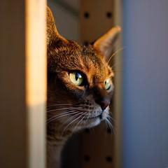 Daybreak (DizzieMizzieLizzie (Down for a while)) Tags: abyssinian aby lizzie dizziemizzielizzie portrait cat feline gato gatto katt katze kot meow pisica sony neko gatos chat a6500 zeiss fe 55mm f18 za ilce6500 ilce sel55f18z sonnar 2018 daybreak sun light