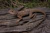 Ring-tailed Dragon (Ctenophorus caudacinctus) (elliotbudd) Tags: ringtailed ring tailed dragon lizard ctenophorus caudacinctus qld queensland agamid agamidae elliot budd winton boulia middleton macropus