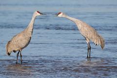 Sandhill_Cranes-16 (Beverly Houwing) Tags: nebraska sandhillcranes plattriver migration spring birds conservation cranetrust sanctuary protected communicate vocalize squawk grey gray unitedstates midwest
