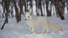 White Wonder (CecilieSonstebyPhotography) Tags: arctic bokeh fox winter endangered alopexlagopus canon snow norway trees whitefox polarfox eyes snowfox arcticfox langedrag white specanimal coth5