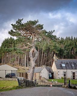 Pine tree, Altnaharra