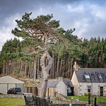Pine tree, Altnaharra thumbnail