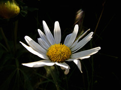 Touch of light (andreas js) Tags: nature photo picture capture sunlight light mood color colors south africa naturaleza natural foto imagen captura luzdelsol luz estadodeánimo emoción sentimiento colores sud áfrica flower flora daisy afternoon summer shadow easter egg marshmallow
