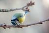 Mésange bleue (MARTIN FRED) Tags: spinus eurasian siskin carduelis european goldfinch fringillidés mésange bleue cyanistes caeruleus blue tit nikond800 sigma150600sport fx birds animal