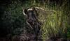 Voilà le papa (joboss83) Tags: sangliers pere animaux foret nature var cuers sauvage dangereux animal
