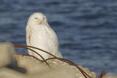Snowy owl (maverikbandit) Tags: snowyowl snowy owl toronto canada ontario bird animal sony nikon d300 a77ii animals birds gta wildlife