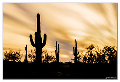 Saguaro Silhouettes (Ken Mickel) Tags: arizona cacti cactus clouds cloudy desert estrellla fineart goodyeararizona kenmickelphotography landscape landscapedesert longexposure longexposurephotography misc outdoors plants saguaro sunsets backlighting backlit nature photography goodyear unitedstates us