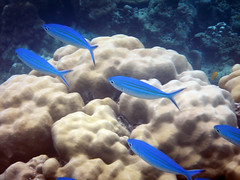Reef Fish - Fusilier (Tim Aldworth) Tags: bridgepreferenceslabelgreenapproved snorkeling thailand underwater coralreef fish tropicalfish blue bluefish caesio