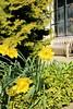 Een mooie lentedag in de Leuvense Kruidtuin (07/04/2018) (Kristel Van Loock) Tags: 7april2018 07042018 kruidtuin kruidtuinleuven leuvensekruidtuin botanicalgarden botanischetuin botanischergarten ortobotanico hortusbotanicuslovaniensis leuven jardinbotanique jardinbotaniquedelouvain jardimbotanico jardinbotanico giardinobotanico louvain lovanio lovaina löwen loveleuven seemyleuven visitleuven atleuven visitflanders visitbelgium visitflemishbrabant fiandre flanders flandre flemishbrabant brabantflamand brabantefiammingo lente2018 primavera printemps spring springtime leveninleuven drieduizend 3000 lenteindekruidtuin springweather lentedag narcissen narcissus narcisses springflowers lentebloemen flora flores fleurs bloemen blumen paasbloemen daffodils daffodil