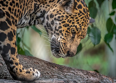 Eye on the Prize (helenehoffman) Tags: pantheraonca conservationstatusnearthreatened mammal carnivore sandiegozoo feline cat jaguar bigcat southamerica animal coth coth5 ngc