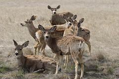 Mule Deer Bucks Getting Ready To Grow New Antlers (fethers1) Tags: rockymountainarsenalnwr rmanwr rmanwrwildlife coloradowildlife denverbroncos muledeer muledeerbucks