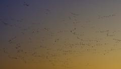 In flight (Wouter de Bruijn) Tags: fujifilm xt2 fujinonxf56mmf12r geese goose flock bird birds migration migratory sunrise sun dawn morning silhouette silhouettes sky colour colourful nature outdoor veere walcheren zeeland nederland netherlands holland dutch