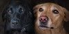 Tumble and Miley. Two faithful friends! (MixPix ) Tags: dogs labradors fox red black eyes pets pair