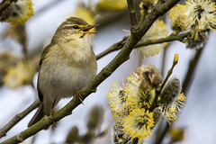 Willow Warbler (Bill Richmond) Tags: willowwarbler phylloscopustrochilus sylviidae countydurham nikon500f4 nikond500 nikon14xconverter