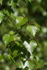 Birch leaves (4) (grus_p) Tags: birch betula leaves sunlight beautyofnature spring may trees luminanceboréale finland