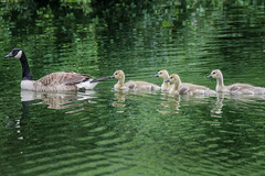 Canadian Goose with Babies (lablue100) Tags: geese babies water animals swimming canadiangeese pond lakecolors action