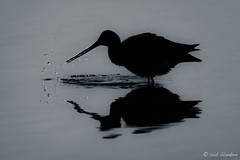 Evening light (Rob Blanken) Tags: blacktailedgodwit grutto limosalimosa evening reflection water droplets