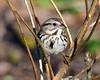 DSC_8850=3Sparrow (laurie.mccarty) Tags: songbird songsparrow sparrow bird bokeh nature wildlife outdoor