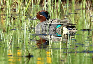 The teal meal in the long grass.