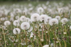 2018-05-21 15.19.11 Maskrosfrön (HAKANU) Tags: sweden småland kronoberg ör field white seeds dandelion flowers flower