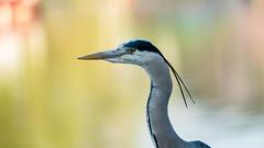Grey heron portrait (Valentin Laurentziu) Tags: grey heron portrait wildlife bird