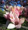 "IMG_0123e (tombarat) Tags: centralpark nyc usa conservatory""tulip""garden springtime"