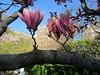 "IMG_0124e (tombarat) Tags: centralpark nyc usa conservatory""tulip""garden springtime"