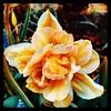 On the corner. #Takoma #dc #dclife #washingtondc #iphone #iPhonemacro #macro  #flower #flowersofinstagram (Kindle Girl) Tags: iphone takoma dc dclife washingtondc iphonemacro macro flower flowersofinstagram