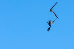 Bald Eagle (janelle.streed) Tags: baldeagle eagles haliaeetusleucocephalus birds animals wildlife nature outdoors minnesota spring