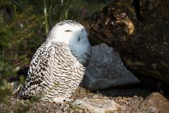 Snowy owl (Cloudtail the Snow Leopard) Tags: schneeeule tier animal vogel bird eule scandiacus buboscandiaca nyctea snowy owl zoo stadtgarten karlsruhe