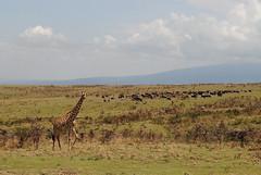 Масайский жираф, Giraffa camelopardalis tippelskirchi, Masai Giraffe (Oleg Nomad) Tags: масайскийжираф giraffacamelopardalistippelskirchi masaigiraffe африка танзания нгоронгоро сафари природа животные кратер africa tanzania ngorongoro safari animals nature travel