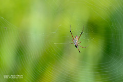 Silver zigzag spider (Argiope catenulata) - DSC_0310 (nickybay) Tags: araraneidae argiope catenulata spider zigzag orb weaver silver singapore dairyfarmnaturepark quarry