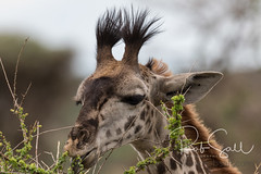 Masai Giraffe (robsall) Tags: 2016 500mm 7dmark2 7dmarkii 7dm2 7dmii africa africatourism africawildlifephotography africanwildlife canon canon500mmf4lisiiusm canon500mmf4 canon500mmf4lii canon500mmf4ii canon7dmark2 canon7dmarkii canon7d2 canon7dm2 canoneos canoneos7dmark2 canoneos7dm2 family giraffacamelopardalistippelskirchi giraffe giraffes kilimanjarogiraffe mammal masaigiraffe masaigiraffes robsallaeiral robsalldrone robsalldronephotography robsallphotography robsallwildlifephotography tanzania tanzania2016 vacation mararegion