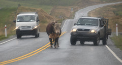 Road block (Ian@NZFlickr) Tags: cattle beast road control ida valley central otago rain yellow lines no passing nz