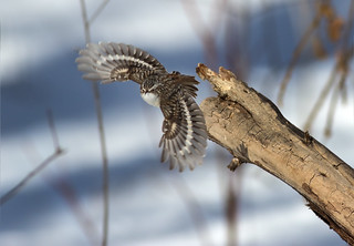 Brown Creeper In Flight