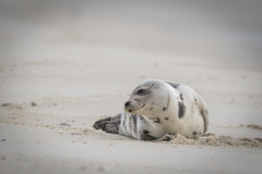 Harbor Seal ** (rich0234) Tags: harborseal islandbeachstatepark nature