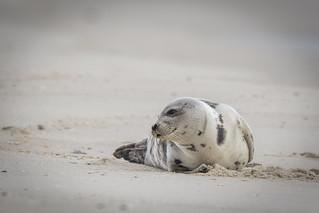 Harbor Seal **