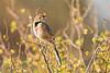 Rosy-throated Longclaw (Thomas Retterath) Tags: adventure wildlife abenteuer safari natur nature kenya africa afrika tsavowest thomasretterath macronyxameliae rubinkehlpieper vögel bird birds vogel animals tiere rosythroatedlongclaw