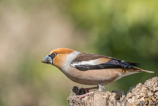 Coccothraustes coccothraustes ♂︎, (Frosone, Hawfinch).