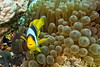 Red sea clownfish (antony5112) Tags: redsea clownfish sub scuba diving underwater anemone